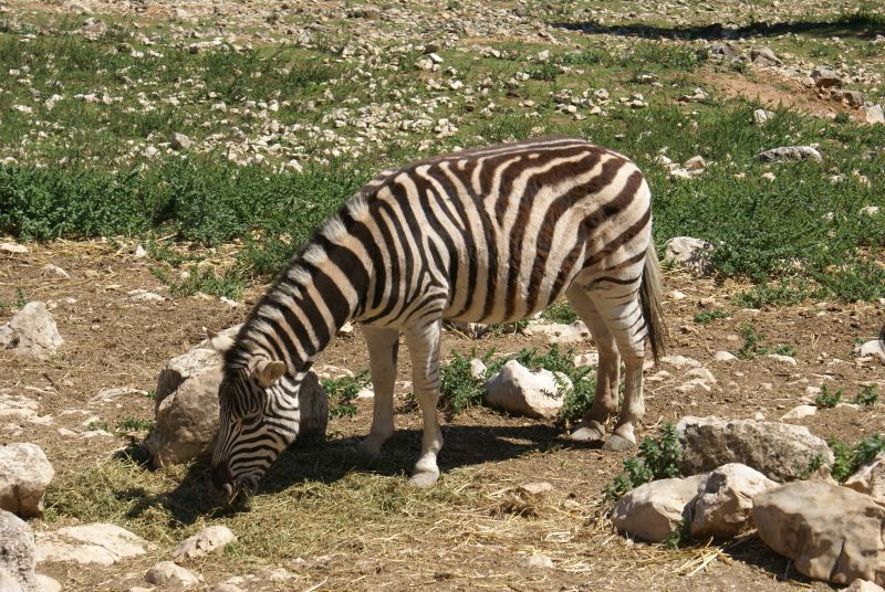 Zebra (Safari)