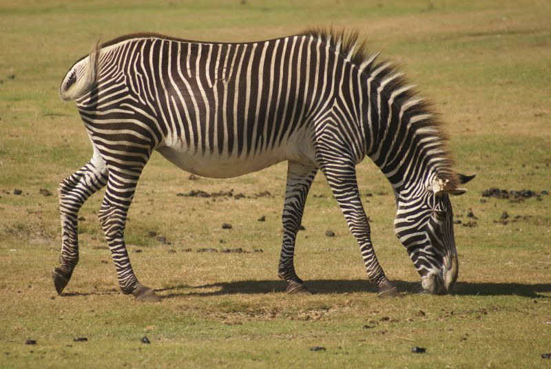 Grevyzebra (Safari)